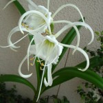 Гименокаллис в саду и дома