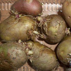 Как вырастить в Подмосковье сверхранний картофель