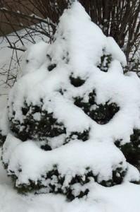Ель Коника после снегопада