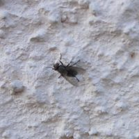 Комнатная муха готовится к атаке