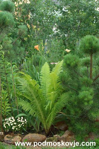 Укорачивание сосновых «свечей» преображает даже самые худенькие сосенки