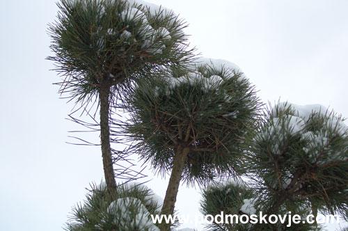 Шарики на ветвях сосны зимой