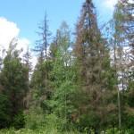 Почему засыхают ели в лесах и на участках?
