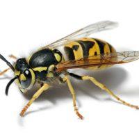 Укус осы. Как избежать? Что делать?