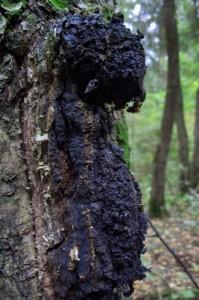Чага в лесу
