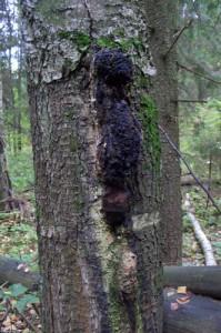 Гриб чага в лесу
