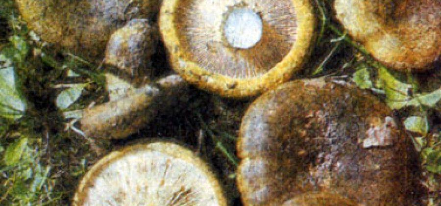 Чернушка: идеальный гриб для засолки