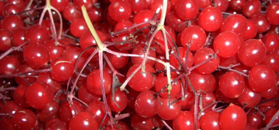 Ягоды калины обыкновенной — ценное лекарство, подаренное природой