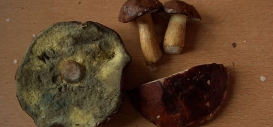 Стал ли вкуснее польский гриб?