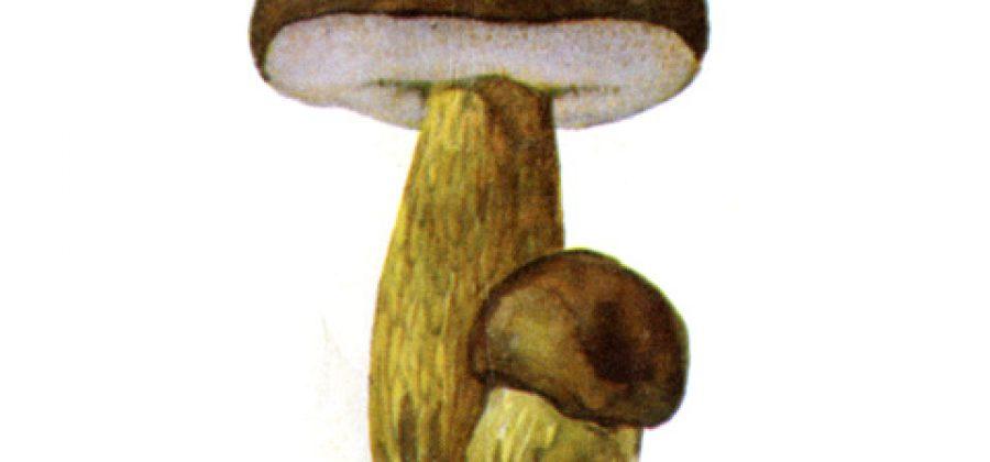 Как не спутать желчный гриб с благородными грибами?