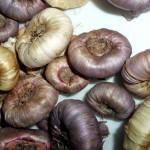 Как сохранить клубнелуковицы гладиолусов зимой?