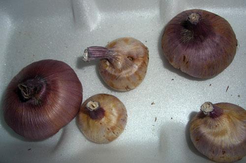 Клубнелуковицы гладиолусов