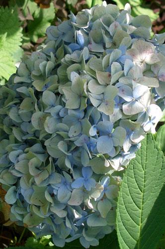 Гортензия крупнолистная с голубыми соцветиями