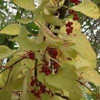 Использование плодов и семенное размножение лимонника китайского