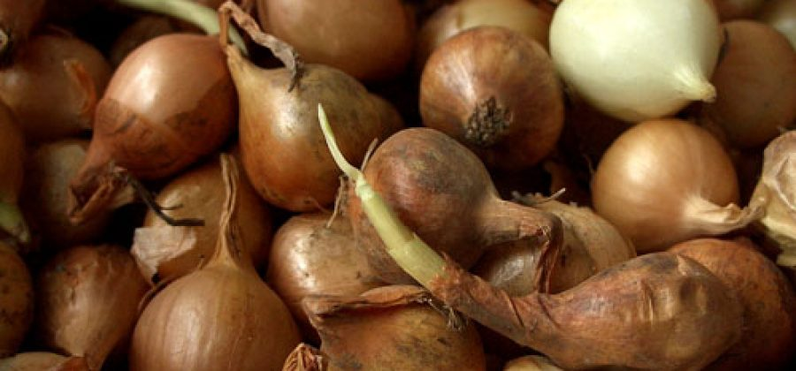 Выращивание зеленого лука на подоконнике или на застекленной лоджии