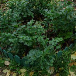 Корневой сельдерей от покупки семян до сбора урожая