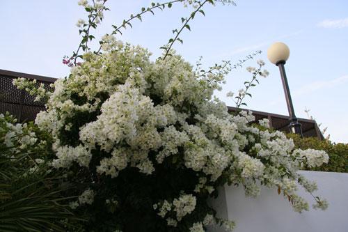 Бугенвиллея