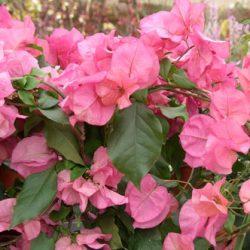Как ухаживать и добиться цветения комнатной бугенвиллеи?