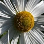 Левкантемелла поздняя, или хризантема поздняя (осенняя) — гигантская ромашка, продолжающая цвести в предзимье