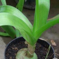Комнатные растения-целители. Часть вторая