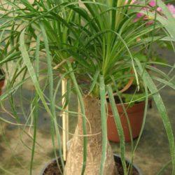 Нолина (бокарнея) — слоновая нога, или бутылочная пальма, оригинальный суккулент для дома