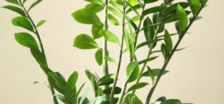Замиокулькас — ароид, который боится влаги