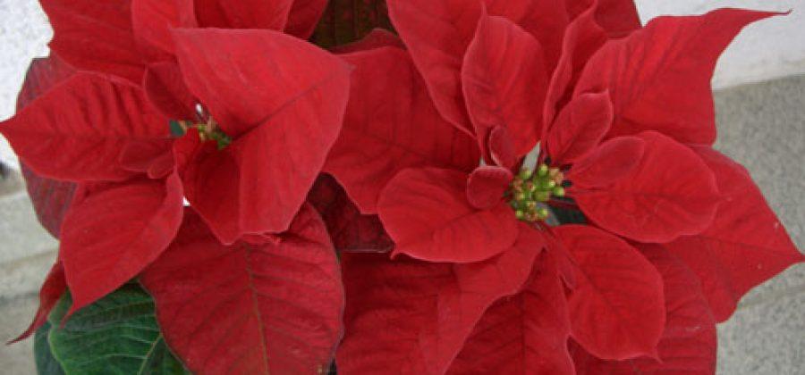 Рождественская звезда (пуансеттия, молочай красивейший) до и после зимних праздников