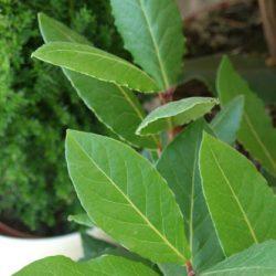 Лавр благородный (Laurus nobilis) в доме