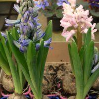 Гиацинт в горшочке — как сохранить растение после окончания цветения