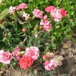 Гвоздика Шабо: выращивание рассады, подробная агротехника и сорта