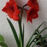 Два способа выращивания гиппеаструма