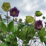 Кобея лазающая — цветущее растение для вертикального озеленения