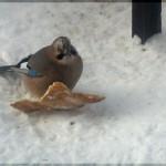 Сойка, птица с хохолком, ворующая хлеб из кормушки