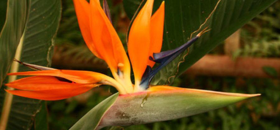Стрелитция — растение с цветками, похожими на Жар-птицу