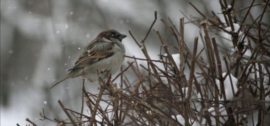 Воробей: поведение, образ жизни и виды