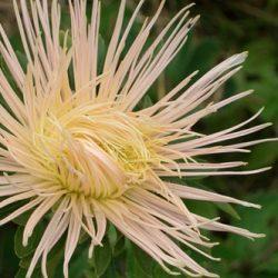 Астра однолетняя с весны до осени: выращивание рассады и дальнейший уход