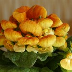 Обязательно ли выбрасывать кальцеолярию («цветок-туфельку») после окончания цветения