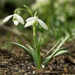Подснежники (галантус) — первые весенние цветы