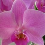 Фаленопсис: орхидея-бабочка
