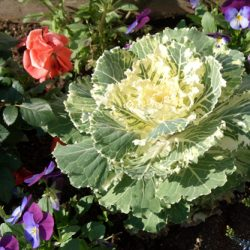 Декоративная капуста: семена, выращивание и сорта