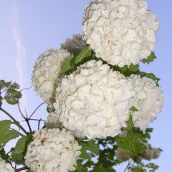 Бульденеж красиво цветет и долго живет