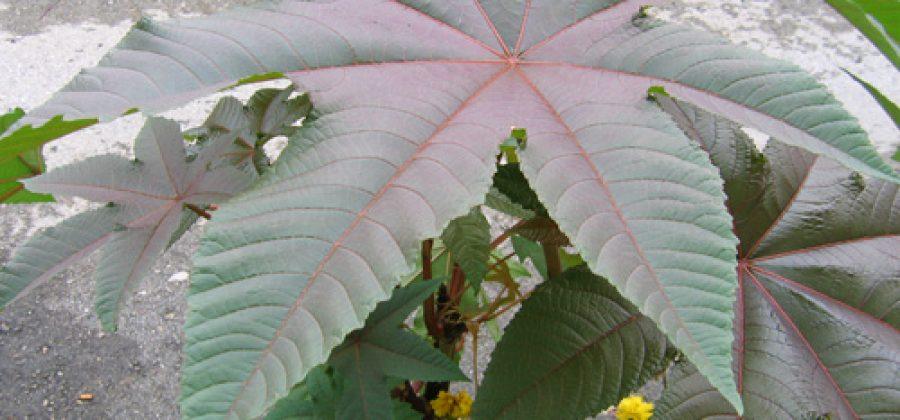 Клещевина обыкновенная (Ricinus communis L.) с весны до осени