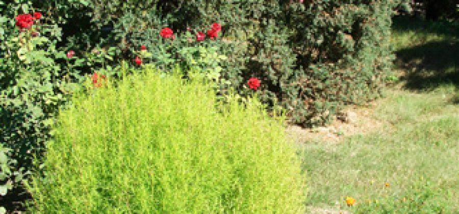 Кохия веничная: выращивание рассады, уход, декоративные и лечебные свойства