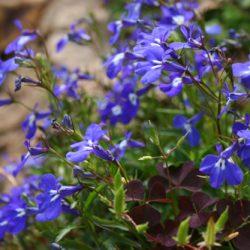 Лобелия ежевидная: выращивание рассады без проблем, уход за цветущим растением
