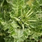 Расторопша пятнистая: посев семян, сорта, выращивание, декоративность и лечебные свойства