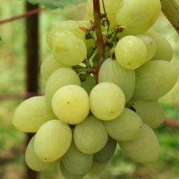 Виноград: плюсы и минусы совместных посадок с другими растениями