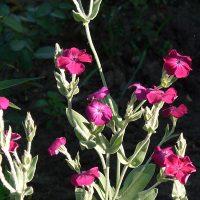 Лихнис корончатый — модный цветок или еще одна Зорька?