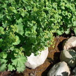 Манжетка: садовое растение или полезный сорняк?