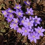 Первые весенние цветы в саду