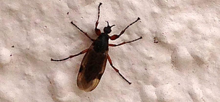 Комар-толстоножка абсолютно безвреден и не кусается